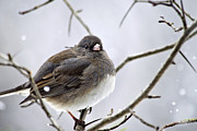 Snowing Digital Art Prints - Dark-Eyed Junco Print by Christina Rollo