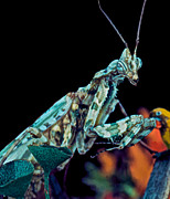 Quick Prints - Devil Flower Mantis Print by Leslie Crotty