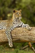 Leopard Prints - Dignity Print by Michele Burgess