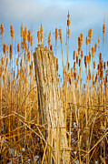 Cattail Photos - Dont Fence Me In by Steve Harrington