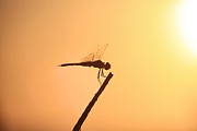 Dragon Flies Posters - Dragonfly Silhouette  Poster by Douglas Barnard