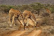 Giraffe Photos - Drinking in Tandem by Michele Burgess