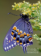 Pipevine Swallowtail Butterfly Prints - Eastern Black Swallowtail Butterfly Print by Millard H. Sharp