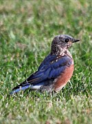 Bluebird Posters Prints - Eastern Bluebird Print by J McCombie