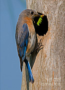 Bluebird Metal Prints - Eastern Bluebird Metal Print by Millard H. Sharp
