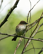 Bird Framed Prints - Eastern Phoebe Framed Print by Neal  Eslinger