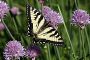 Blooms  Butterflies Photo Framed Prints - Eastern Tiger Swallowtail Framed Print by Cindi Ressler