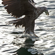 Eagle Metal Prints - European Fishing Sea Eagle 3 Metal Print by Heiko Koehrer-Wagner