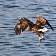 Eagle Photos - European Flying Sea Eagle 3 by Heiko Koehrer-Wagner