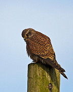 Paul Scoullar - European Kestrel