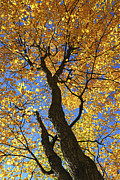 Autumn Posters - Fall maple trees Poster by Elena Elisseeva