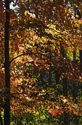 Steven Ralser - Fall Maples - Arboretum - Madison