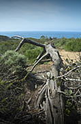 Randall Nyhof - Fallen Dead Torrey Pine trunk at Torrey Pines State Natural Reserve