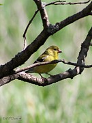 Canary Yellow Prints - Female American Goldfinch Print by J McCombie