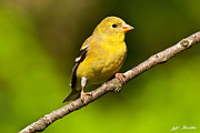 Jeff Goulden - Female American Goldfinch