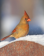 Jim Nelson - Female Northern Cardinal