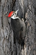 Doris Potter - Female Pileated...