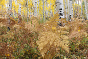 Eric Glaser - Ferns and Aspens