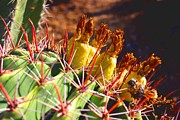 David Rizzo Metal Prints - Fishhook Cactus Metal Print by David Rizzo