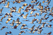 Crane Migration Prints - Flight of the Sandhill Cranes Print by Steven Llorca