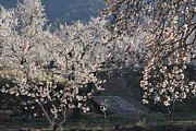 Almond Metal Prints - Flowering almond Metal Print by Guido Montanes Castillo