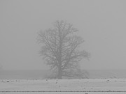 Snow Farm Prints - Foggy Oak Print by David Bearden