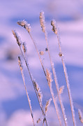 Park Scene Framed Prints - Frozen grass  Framed Print by Tommy Hammarsten