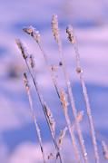 Frozen Grass  Print by Tommy Hammarsten