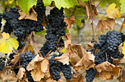 Beaujolais Photo Prints - Gamay Noir Grapes Print by Kevin Miller