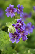 Close Up Floral Metal Prints - Geranium Himalayense Metal Print by Frank Tschakert