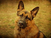 Shepherds Posters - German Shepherd Dog Poster by Sandy Keeton