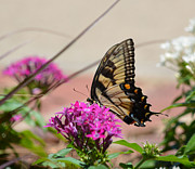 Ruth Housley Metal Prints - Giant Swallowtail Butterfly Metal Print by Ruth  Housley