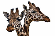 Popular Photos - Giraffes by Marcia Colelli