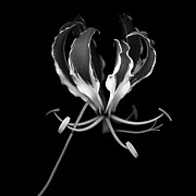 Isolated Against Black Background Posters - Glory Lily Poster by Oscar Gutierrez