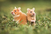 Syrian Hamster Photos - Golden Hamster by Alon Meir
