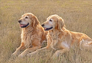 Hunting Dogs Posters - Golden Retrievers in Golden Field Poster by Jennie Marie Schell