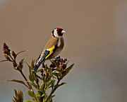 Paul Scoullar - Goldfinch