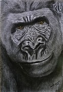 David Hawkes - Gorilla Portrait
