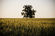 Intolerant Prints - Grain Fields Print by Tim Hester