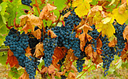 Recolte Prints - Grapes at Gaillac France Vineyard Print by Jeff Black