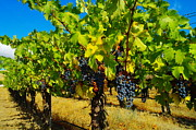 Yakima Valley Photo Framed Prints - Grapes On The Vine Framed Print by Jeff  Swan