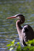 Heron Photos - Great Blue Heron by Bruce J Robinson