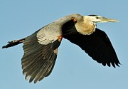 Great Blue Heron In Flight Print by Paulette  Thomas