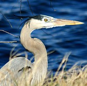 Sheellah Kennedy Art - Great Blue Heron by Sheellah Kennedy