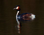 Paul Scoullar - Great Crested Grebe
