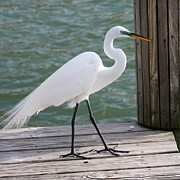 Egret Photo Prints - Great  Egret on the Pier Print by Carol Groenen