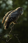 Owl Metal Prints - Great Grey Owl Metal Print by Bob Christopher