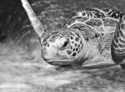 Green Sea Turtle. Print by Jamie Pham