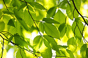Backlit Photo Posters - Green spring leaves Poster by Elena Elisseeva