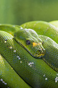 Brandon Alms - Green Tree Python